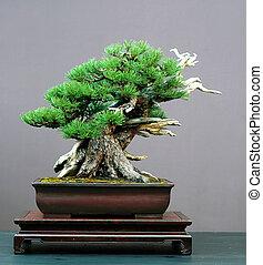 mugo, bonsai, pino