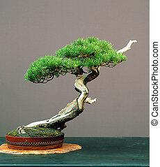 mugo pine bonsai - Mugo pine, Pinus mugo, arond 100 years...