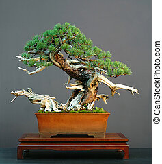 mugo pine bonsai with deadwood - Mugo pine, Pinus mugo, 75...