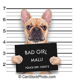 criminal bulldog , at the police station , mugshot photo