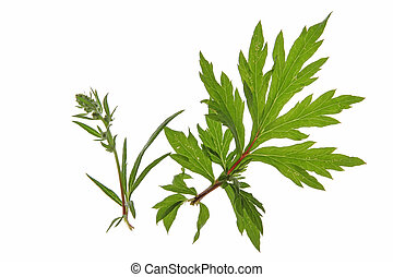 mugwort (Artemisia vulgaris) against a white background