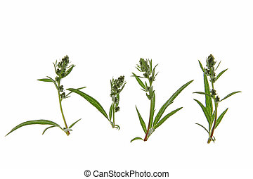 Mugwort (Artemisia vulgaris) - buds of mugwort (Artemisia...