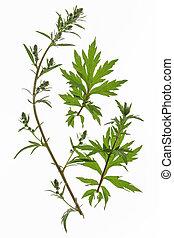 Mugwort (Artemisia vulgaris) - mugwort (Artemisia vulgaris)...