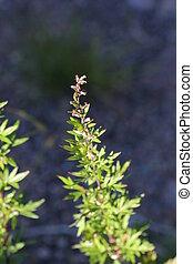 Mugwort Blossoms