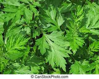 Mugwort Plant - A close up shot of the ancient herb mugwort.