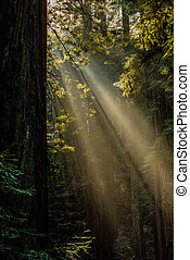 Muir Woods Light - The sun streams through the towering ...