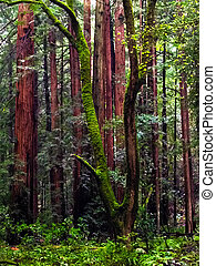 Muir Woods Redwoods - A grove of redwood trees grows among ...