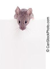 muis, kijken over, rand, vrijstaand