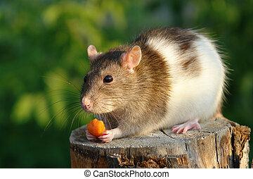 muis, met, wortel