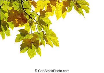 muito, foco raso, folhas, outono, fundo, branca