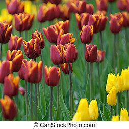 muito, raso, vermelho, tulips, foco