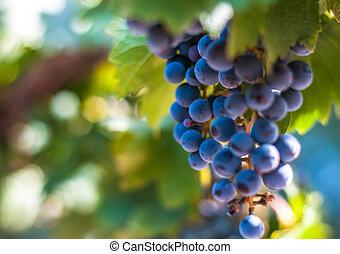 muito, uva, raso, grupo, foco