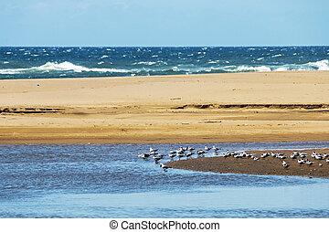 muitos, descansar, gaivotas, ligado, arenoso, lagoa, ilha