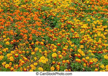 muitos, flores, jardim, thagetes