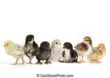 muitos, galinhas, cima, pintainho bebê, branca, alinhado