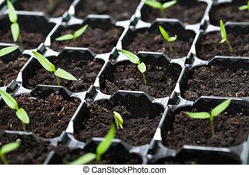 muitos, germinação, bandeja, jovem, seedlings