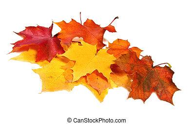muitos, maple, outono, colorido, folhas