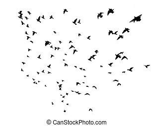 muitos, pássaros voando, em, a, céu