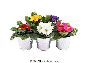 muitos, primrose, potted, plantas