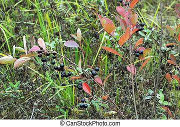 muitos, rowan-berries, frutas