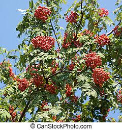 muitos, rowan-berries, frutas, ligado, árvore