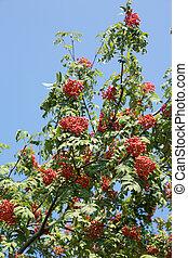 muitos, rowan-berries, frutas, pendura
