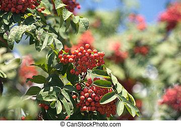 muitos, rowanberries, pendura, ligado, ramos