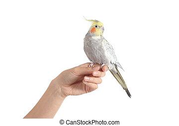 mujer hermosa, tenencia de la mano, pájaro, cockatiel