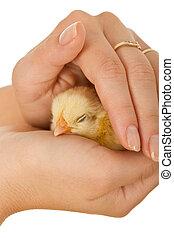 mujer, manos, proteger, sueño, bebé pollo