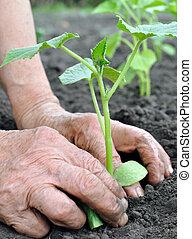 mujer mayor, plantación, un, pepino, planta de semillero