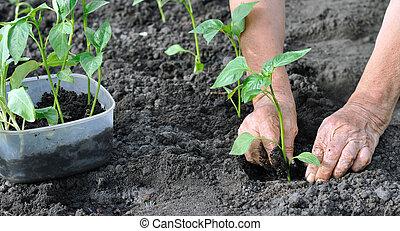 mujer mayor, plantación, un, pimienta, planta de semillero