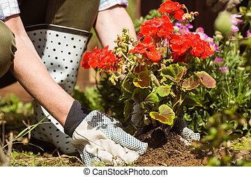 mujer, plantación, un, flor roja
