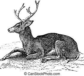 mulåsna hjortar, eller, odocoileus hemionus, årgång, gravyr