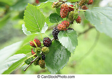 mulberries in the nature (detail of the mullberry tree