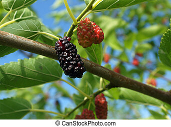 Mulberries in the nature