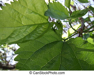Mulberrry - Mulberry leaves in the sun