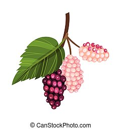 Mulberry Branch with Immature Pink Berries and Red Ones Vector Illustration. Multiple Long Fruit with Sweet Flavor