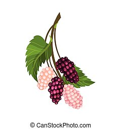 Mulberry Branch with Immature Pink Berries and Ripe Black Ones Vector Illustration. Multiple Long Fruit with Sweet Flavor