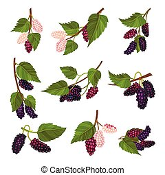 Mulberry Branch with Immature Pink Berries and Ripe Black Ones Vector Set. Multiple Long Fruit with Sweet Flavor