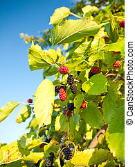 Mulberry - Branches of the mulberry tree with ripening ...