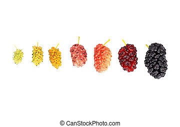 mulberry evolution isolated on white background