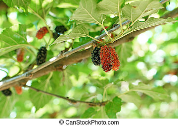 mulberry fruit on tree in organic farm