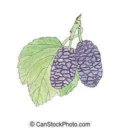 Mulberry. Hand-drawn berries. Real watercolor drawing. ...