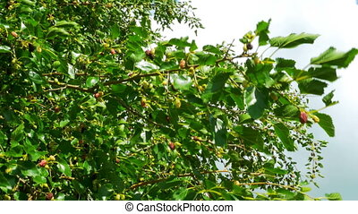 Mulberry Hanging on Tree Branches against the Sky. Selective...