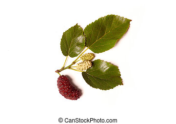 mulberry isolated on white