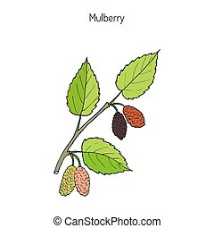 Mulberry morus nigra , or black mulberry, or blackberry. Hand drawn botanical vector illustration