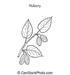 Mulberry morus nigra , or black mulberry, or blackberry....