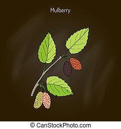 Mulberry morus nigra , or black mulberry, or blackberry....