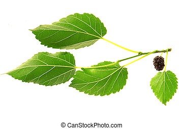 mulberry, - mulberry ?n a white background