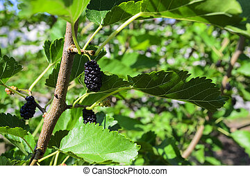 Mulberry on a tree branch
